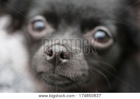 Close up of the head of a black chihuahua