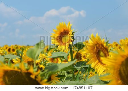 One towering above the other tall sunflower - Helianthus annuus or Sunflower oil (lat. Helianthus annuus) with blue sky background