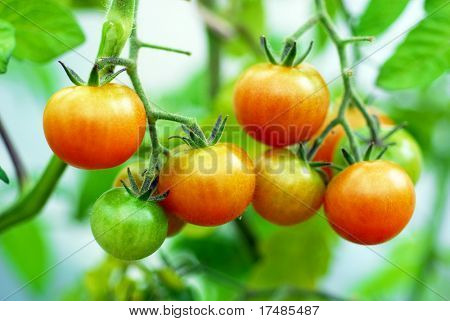 red sherry tomatoes on the plant in greenhouse