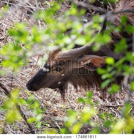 An adult male nyala antelope. A shy and cautious animal that tends to stay hidden in thickets rather than risk open spaces where it is at risk of predators. In Kruger National Park, South Africa.