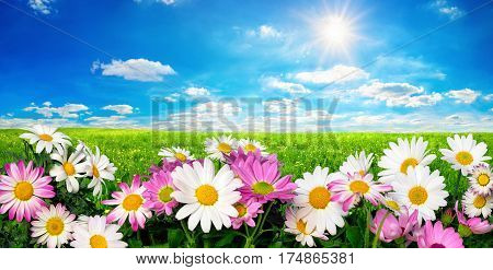 Marguerite Flowers fresh green meadow and vibrant blue sky with the bright sun
