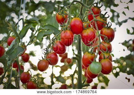 branch of fresh cherry tomatoes hanging on trees in organic farm Solanum lycopersicum