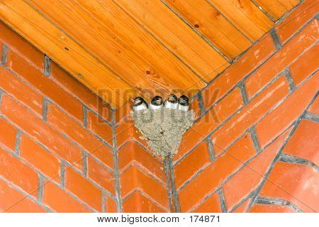 Swallow Nestlings