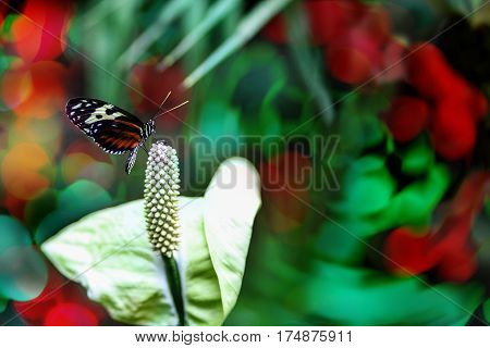 A Tiger Heliconian Butterfly on the tip of a Calla Lily flower spadix with copy space. Selective focus and deliberate shallow depth of field.