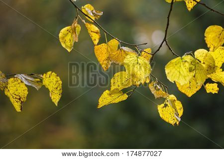 Yellow Leaves In Kungsparken, Malmo, Sweden