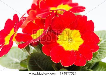 Closeup Macro Red Yellow Primrose Flowers