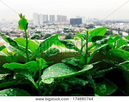 Vegetables Mini Garden Farm On Rooftop In Urban City