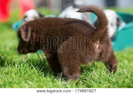 Australian Shepherd Puppy Pees On The Grass