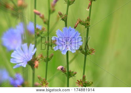 Cichorium intybus flowers close up shot