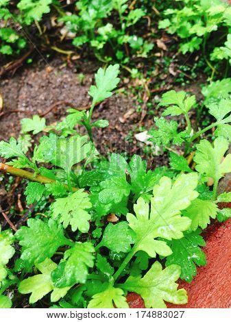 Green Wormwood vegetables in garden pot in garden in asia