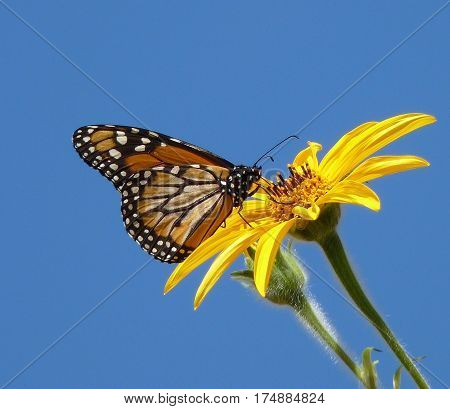 Monarch butterfly photographed one sunny morning in the Department of Tarija, Bolivia