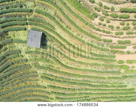 Aerial view of tea plantation and a small house in the country side of Thailand