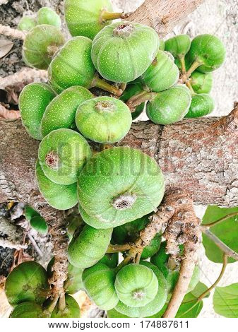Green Fig Fruit On Tree In Asia