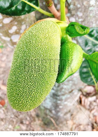 Green Jackfruit on tree in asia in the southest asia