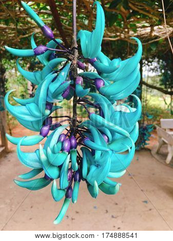 Strongylodon Macrobotrys Commonly Known As Jade Vine, Emerald Vine Or Turquoise Jade Vine