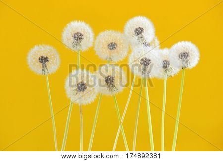 Dandelion flower on yellow color background, object on blank space backdrop, nature and spring season concept.