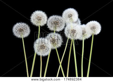 Dandelion flower on black color background, object on blank space backdrop, nature and spring season concept.