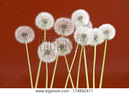 Dandelion flower on brown color background, object on blank space backdrop, nature and spring season concept.