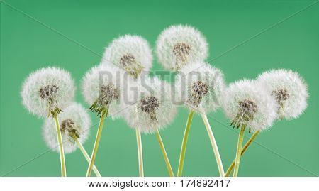 Dandelion flower on green color background, object on blank space backdrop, nature and spring season concept.