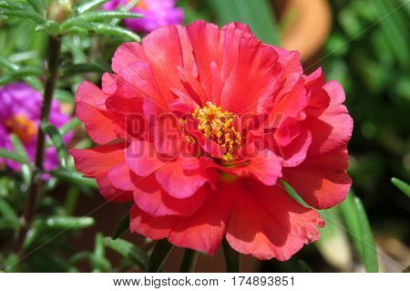 Red Portulaca flower in bloom in a summer garden Moss Rose, Rose Moss