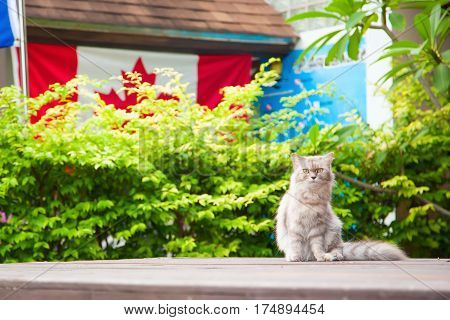 Fluffy cat sitting opposite of a green hedge and canadian flag