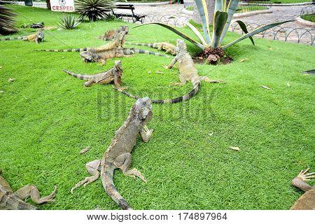 Iguanas at Seminario Park. Seminario Park is also known as the Iguana Park since dozens of iguanas live in its ornate gardens.