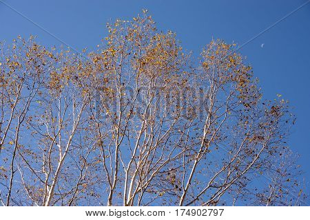 Autumn erman's birch trees(Betula ermanii) in front of moon in Takayama, Gifu
