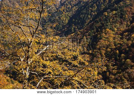 Autumn yellow Carpinus tschonoskii tree leaves in front of forest