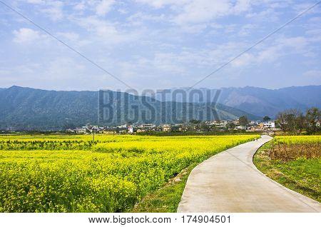 The countryside road in rape flower fields