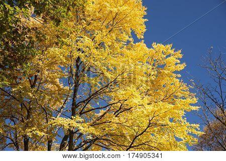 Close up autumn yellow Katsura(Cercidiphyllum japonicum) tree in Matsumoto, Nagano