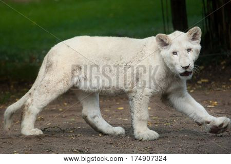 White lion cub. The white lions are a colour mutation of the Transvaal lion (Panthera leo krugeri), also known as the Southeast African or Kalahari lion.