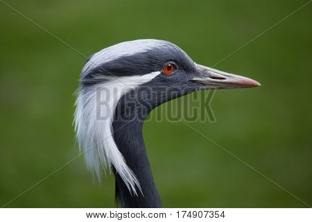 Demoiselle crane (Anthropoides virgo). Wildlife animal.