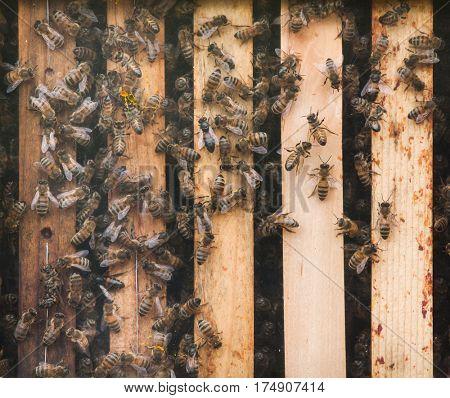 Western honey bee (Apis mellifera), also known as the European honey bee.