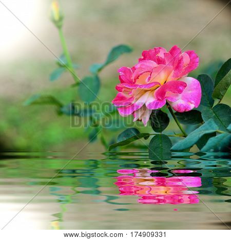 Beautiful rose blooming in garden with reflection
