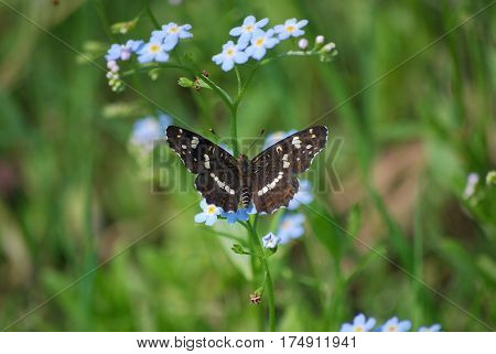 Beautiful brown with white and orange specks on wings the butterfly of pestrokrylniyets changeable, Araschnia levana, the second generation sits on blue colors of a forget-me-not.