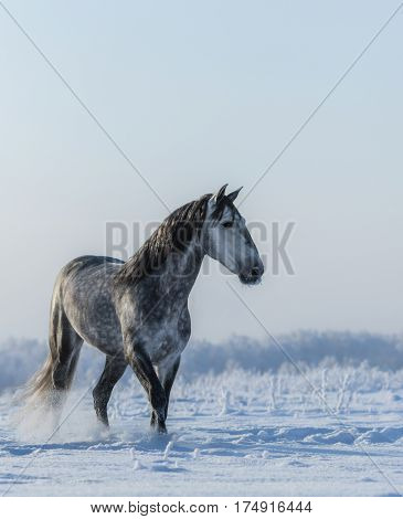 PRE Andalusian gray stallion walks on freedom at winter time