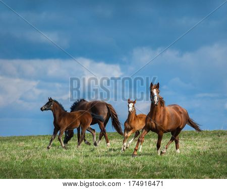Herd of horses walks in field. Two mares with foals on pasture  at summer time.