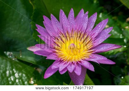 Beautiful waterlily or lotus flower with dew in sunshine