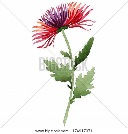 Wildflower chrysanthemum flower in a watercolor style isolated. Full name of the plant: chrysanthemum. Aquarelle wild flower for background, texture, wrapper pattern, frame or border.