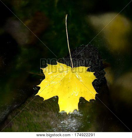 Yellow Maple Leaf In Rapids. Dried Fallen Leaves