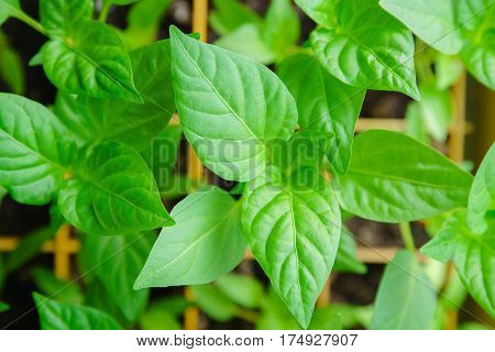 Seedlings Pepper Leaves Closeup