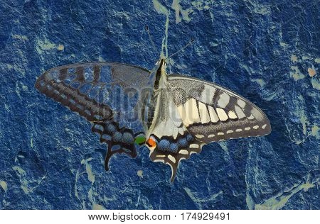 Textured and toned image of Old World Swallowtail (Papilio machaon) butterfly.
