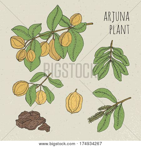 Plant, fruit, flowers, bark, leaves hand drawn set. Arjuna, medical botanical ayurvedic tree. Vintage colorful isolated illustration