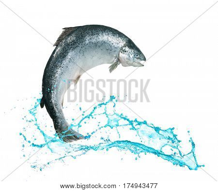 Atlantic salmon fish jumping out of water