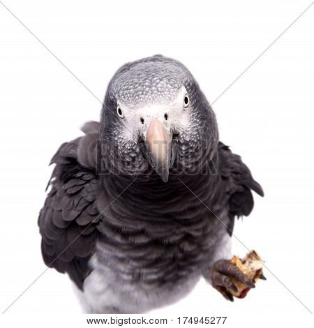 African Grey Parrot - Psittacus erithacus, isolated on a white background