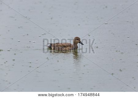 portrait of natural male gadwall duck (Anas strepera) swimming in rain