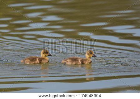 Portrait Of Two Baby Gray Gooses (anser Anser) Swimming