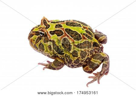 The Argentine horned frog, Ceratophrys ornata, isolated on white background poster