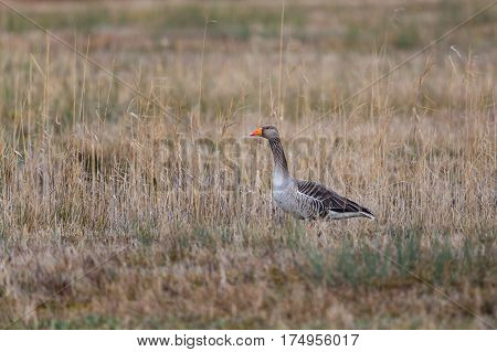 One gray goose (Anser anser) standing in meadow with reed in winter