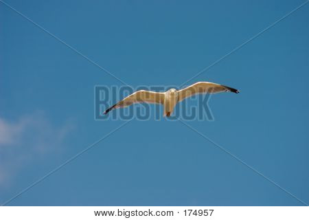 flying seagull poster